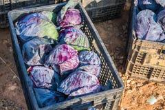 The Violet cabbage in black basket Stock Photo