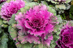 Violet cabbage Royalty Free Stock Image