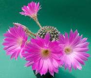Violet cactus blossom Stock Photos