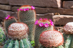 Violet cactus flowers Royalty Free Stock Photo