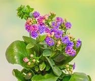 Violet Calandiva flowers, Kalanchoe, family Crassulaceae, close up, green background Stock Images
