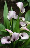 Violet calla lilies Stock Photo