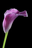 Violet calla Lilly flower Stock Images
