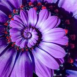 Violet camomile daisy flower spiral abstract fractal effect pattern background. Purple flower spiral abstract pattern fractal. Violet camomile daisy flower stock photos