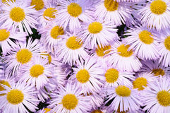 Violet camomille. Close up photograph of the violet camomilles Stock Images