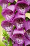 Violet campanula flower Stock Image