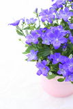 Violet campanula flowers close up Stock Photos