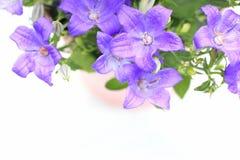 Violet campanula flowers close up Royalty Free Stock Photo