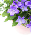 Violet campanula flowers close up Royalty Free Stock Photography