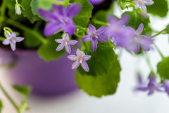 Violet campanula flowers Royalty Free Stock Images