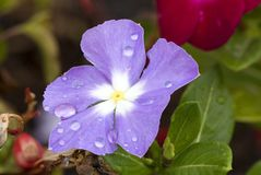 Violet Cape Periwinkle, Vinca and drop Royalty Free Stock Photos