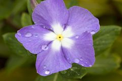 Violet Cape Periwinkle, Vinca and drop Royalty Free Stock Images