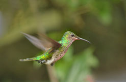 Violet-capped Hummingbird Stock Photography