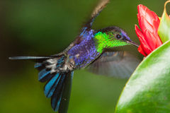 Violet-capped Woodnymph. Hovering display, sipping from flowers, Panama Stock Images