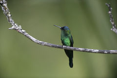 Violet-capped woodnympth, Thalurania glaucopis Stock Image