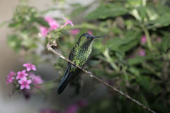 Violet-capped woodnympth, Thalurania glaucopis Royalty Free Stock Image