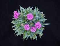 Violet carnation flowers bouquet Royalty Free Stock Photo