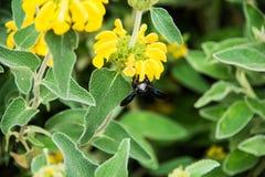 Violet Carpenter Bee in einem Blumenhintergrund lizenzfreie stockfotografie