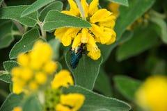 Violet Carpenter Bee in einem Blumenhintergrund lizenzfreie stockfotos