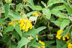 Violet Carpenter Bee en un fondo floral Imagen de archivo libre de regalías