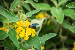 Violet Carpenter Bee in a floral background. Violet Carpenter Bee is searching for flowers and pollen to make honey. Nice background of yellow beautiful flowers royalty free stock photography