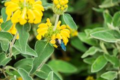 Violet Carpenter Bee in a floral background. Violet Carpenter Bee is searching for flowers and pollen to make honey. Nice background of yellow beautiful flowers stock photography