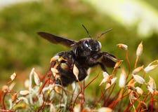 Violet carpenter bee on moss stock photos