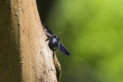 Violet carpenter bee sits on a tree. Xylocopa violacea royalty free stock photos
