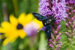 Violet carpenter bee Royalty Free Stock Photos