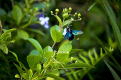 A violet carpenter bee is sucking flower. Violet carpenter bee is also call Xylocopa. Stock Photography