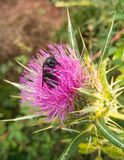 Violet Carpenter Bee on Thistle flower. A huge Violet Carpenter Bee, Xylocopa violacea, searching for pollen deep inside a flower fo Thistle plant, Cardus at the royalty free stock photos