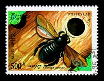 Violet Carpenter Bee (Xylocopa violacea), serie, circa 1995 lizenzfreie stockbilder