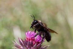 Violet carpenter bee Xylocopa violacea stock image