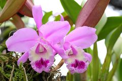 Violet cattleya orchid flower. Blooming stock photography