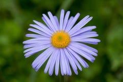 Violet Chamomile Summer Flower Royalty-vrije Stock Afbeelding