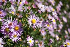 Violet chamomiles Stock Photo