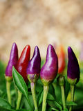 Violet chili tree with background blur. Thai Stock Images
