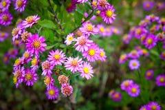 Violet Chrysanthemum Arkivbild
