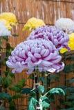 Violet Chrysanthemum Royaltyfria Foton