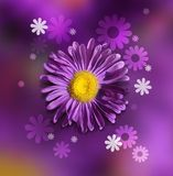 Violet chrysanthemum Stock Image