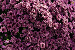 Violet chrysanthemum Stock Photography