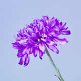 Violet Chrysanthemum Flower Royalty Free Stock Image