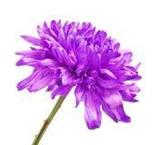 Violet Chrysanthemum Flower Royalty Free Stock Photo