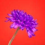 Violet Chrysanthemum Flower Stock Photos