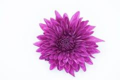 Violet Chrysanthemum Flower Isolated au-dessus du fond blanc Images stock