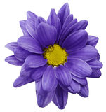 Violet chrysanthemum flower isolated on white  background with clipping path.   Closeup.  no shadows.  For design. Royalty Free Stock Photography