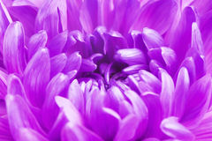 Violet Chrysanthemum Flower Petals arkivfoton
