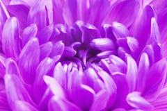 Violet Chrysanthemum Flower Petals Stock Photos