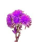 Violet Chrysanthemum flowers, mums or chrysanths, genus Chrysanthemum in the family Asteraceae Stock Photo