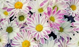 Violet chrysanthemums floral background. Colorful white pink yellow mums flowers close-up photo. Selective focus.  Royalty Free Stock Photography